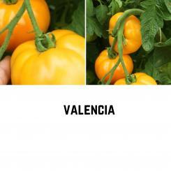 BIO Valencia Tomatensamen (Fleischtomate)