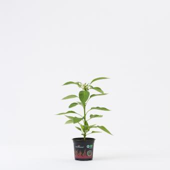 Guarda Cielo BIO Chilipflanze