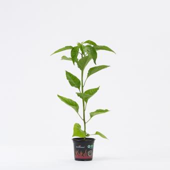 Carolina Reaper BIO Chilipflanze