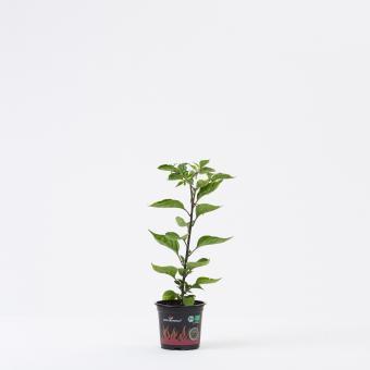 Naga Morich BIO Chilipflanze