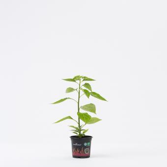 Tabasco BIO Chilipflanze