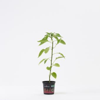 NuMex Jalapeño Pumpkin Spice Organic Chilli Plant