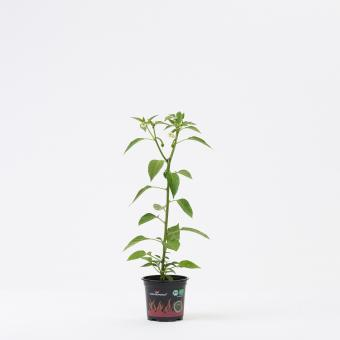 Aji Cereza BIO Chilipflanze
