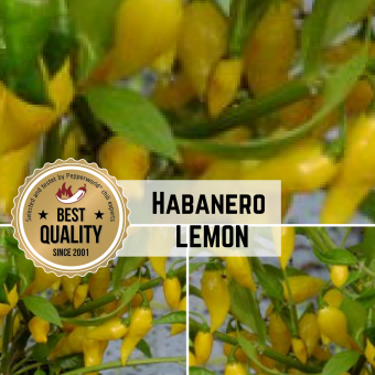 Habanero Lemon  BIO Chilipflanze