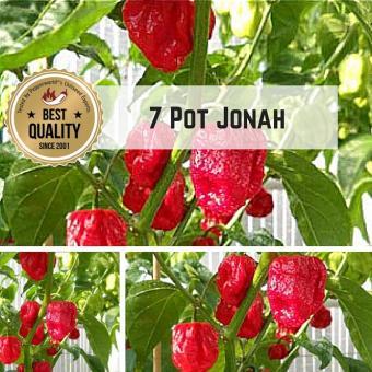 7 Pot / Seven Pot Jonah Chilipflanze