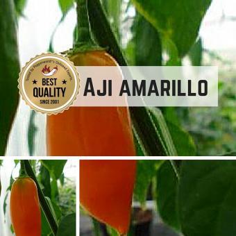 Aji Amarillo BIO Chilipflanze