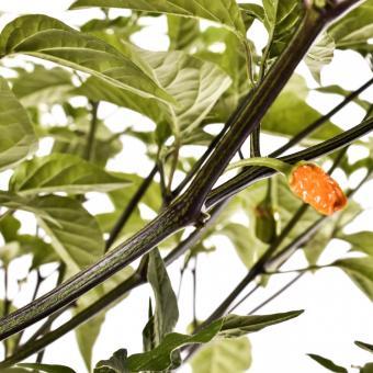 Ayuyo Orange Chilisamen