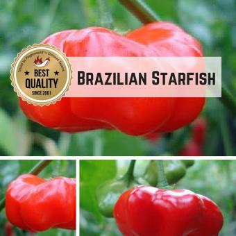 Brazilian Starfish BIO Chilipflanze