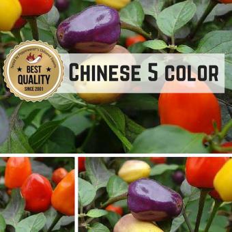 Chinese 5 Color BIO Chilipflanze