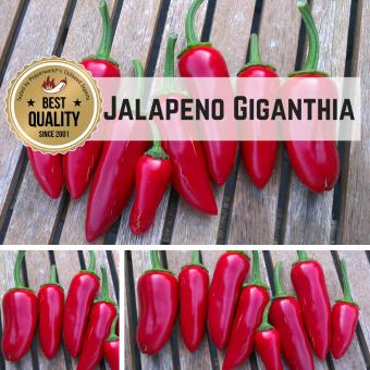 Jalapeno Giganthia BIO Chilipflanze