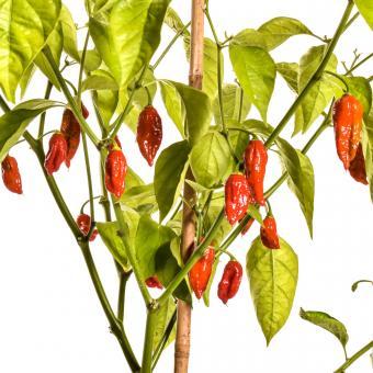Naga/Bhut Jolokia Red Chilisamen