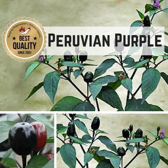 Peruvian Purple BIO Chilipflanze