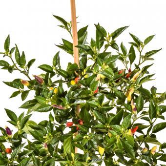 Tabasco #2 Chilli Seeds