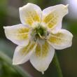 Capsicum Baccatum Blüte 3