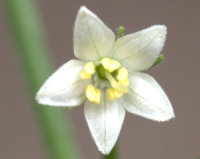 Blüte von C. chacoense