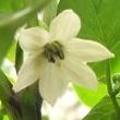 Capsicum frutescens Blüte 2