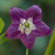 Rocoto Blüte 3