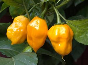 Yellow Bumpy Früchte