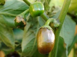 Brown Egg Früchte